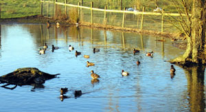 Some of the rare waterfowl